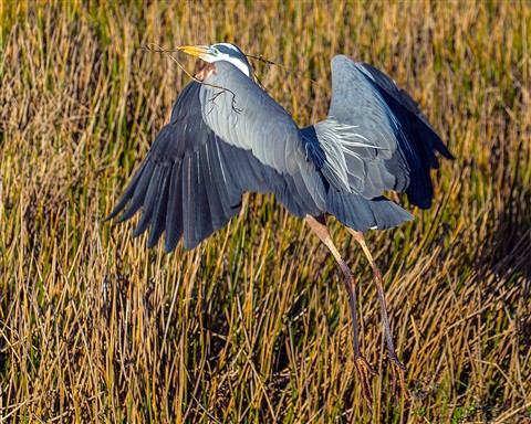 Great Blue Heron (Ardea herodias) Nest Building
