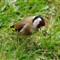 Goldfinch 2