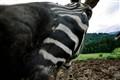 Zebra Snout