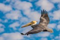 Brown Pelican-7706
