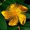 St-Johns-Wart-Flower-Web