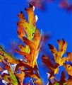 Oak Leaves In Autumn