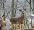 Deer Family in the Woods
