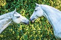 Photo session at home of woman who has 2 gray (white) geldings...