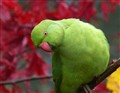 Ring neck parakeet