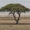 The Acacia at the Salt Flats in Etosha National Park 2016 NAMIBIA (1 of 1)