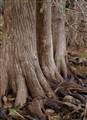 Cypresses, Pedernales