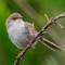 Superb fairy-wren (Female):