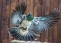 New Zealand native pigeon (Kereru) - DPR - Birds