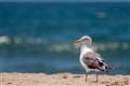 seagull_at_beach