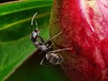 Ant on peony bud.