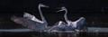 Great blue herons having a dispute
