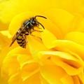 Wasp Among Begonia Petals