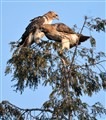 Red Tail Hawks