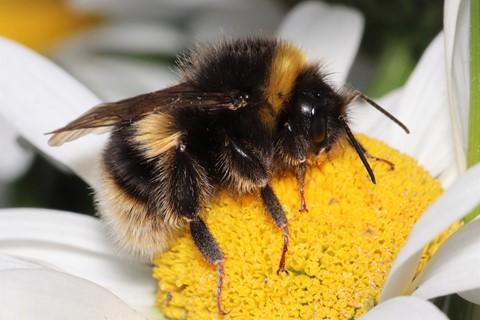 Bee - Bombus terrestris (buff-tailed bumblebee) 210619