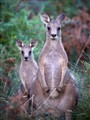 Mum & Junior Eastern Grey Roos