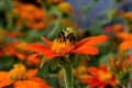 Bee surrounded by orange flowers