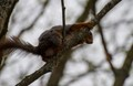 Red squirrel (malting)