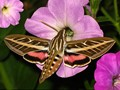 White-lined Sphinx Moth (Hyles lineata), commonly known as the hummingbird moth. Taken in northern United States.