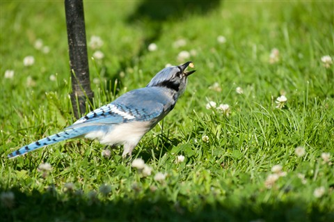 20110628_Blue_Jay_bird_shutter_speed_motion_091_iPad