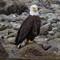 eagle_dabob