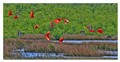 Red Guara