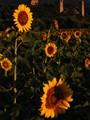 Sunflowers in sunrise