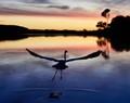 Great egret taking off at dusk