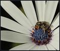 Native bee collecting pollen