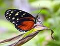 A Crimsom Patch Butterfly