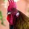 Key West rooster april 2018 MarkLindamoodMark Lindamood copy 2