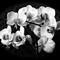 White Orchids B&W challenge P1090097