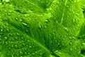 Raindrops on a Calla Lily Plant