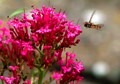 Hoverfly at Centranthus flower.