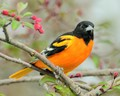 Baltimore Oriole sitting in blossoming crab apple tree.