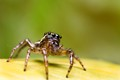 Along Came a Jumping Spider