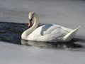 Swan, Westford MA  2/11/09