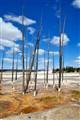 Yellowstone Pines