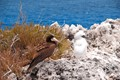 Brown Booby with youg, on Cayman Brac