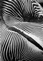 lincoln_park_zebra