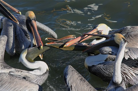 Crossbilled pelicans_DxO