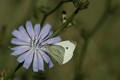 Cabbage White on Chicory Flower