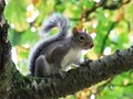 Tree Branch -  Squirrel