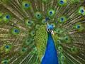 Peacock  p5948