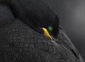 Black Bird with Green Eye