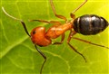 A 8mm giant ant