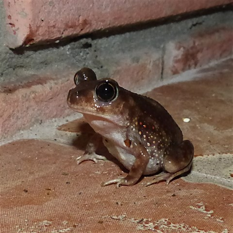 Toad after heavy rain