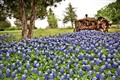 Tractor with bluebonnets