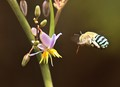 Blue-banded bee 2
