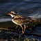 Black-fronted Dotterel 2